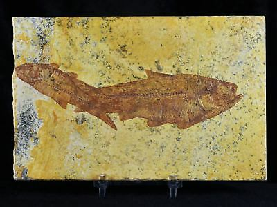 2 Two Knightia Eocaena Fossil Fish Green River Wy Eocene Age 4 Inches Free Stand