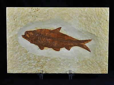 Xl Knightia Eocaena Fossil Fish Green River Wy Eocene Age 4.1 Inches Free Stand