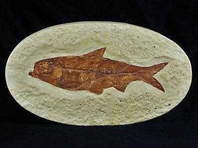 Knightia Eocaena Fossil Fish Green River Wy Eocene Age Oval 3.4 Inches Long