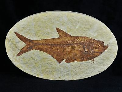 Xl Diplomystus Dentatus Fossil Fish Green River Wy Eocene 4.5 Inches Long Oval