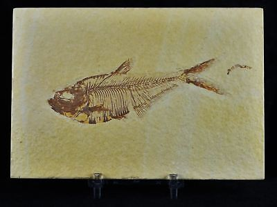 Diplomystus Dentatus Fossil Fish Green River Wy Eocene Age 4 Inches Free Stand