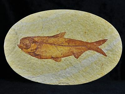Xl Knightia Eocaena Fossil Fish Green River Wy Eocene Age Oval 4.6 Inches Long