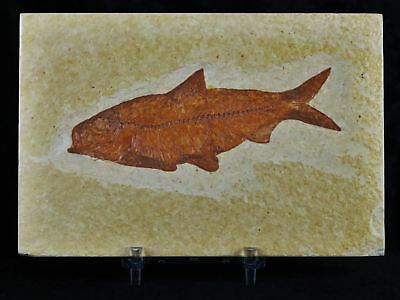 Xl Knightia Eocaena Fossil Fish Green River Wy Eocene Age 4 Inches Free Stand