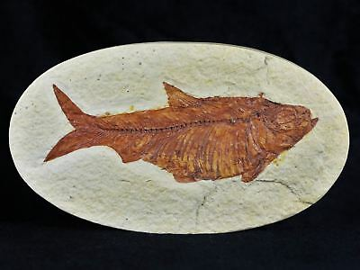 Xl Knightia Eocaena Fossil Fish Green River Wy Eocene Age Oval 4.1 Inches Long