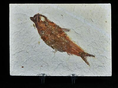 Xl Knightia Eocaena Fossil Fish Green River Wy Eocene Age 4.3 In Long Free Stand