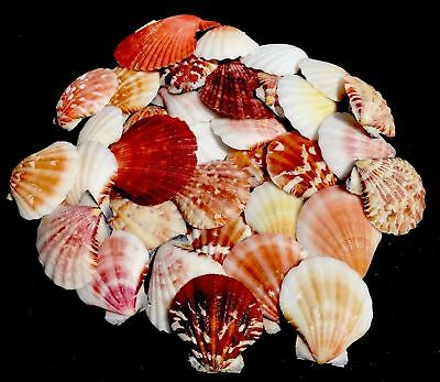 Sea Shells Colorful Scallop Craft Shells Home Aqauriam Wedding Decorations