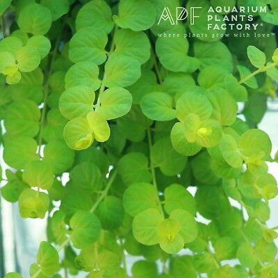 Golden Creeping Jenny Bunch Lloydiella Aurea Live Aquarium Plants BUY2GET1FREE*