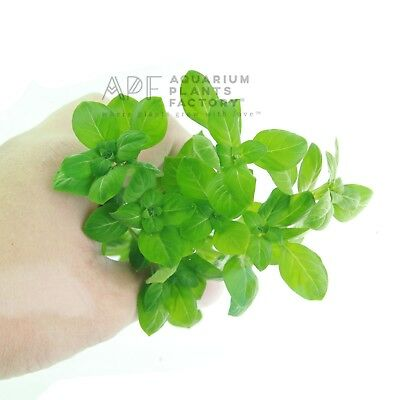 Ludwigia Palustris Green Bunch Repens Live Aquarium Aquatic Plants BUY2GET1FREE*