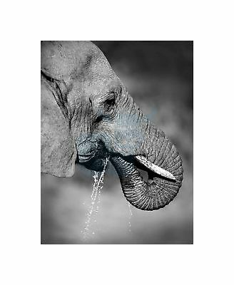 African Elephant Drinking Black White Art Picture Canvas Print