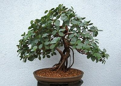 bonsai indoor rundbl ttriger gummibaum ficus panda. Black Bedroom Furniture Sets. Home Design Ideas