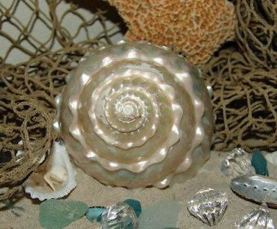 Astraea Undosa MOP Mother of Pearl Large Spiral Wavy Top Display Shell Seashell