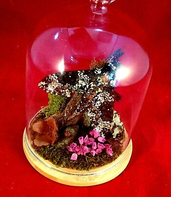 Z-6 Entomology taxidermy Sphinx Moth Antique Victorian Style Glass Dome Display