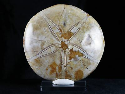 Xl 91Mm Sea Urchin Star Fish Fossil Sand Dollar Jurassic Age 200 Million Yrs Ago