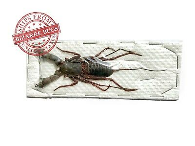 Whip Scorpion Hypocnoctus rangunensis Large Real Preserved Taxidermy
