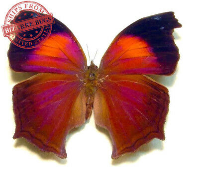Lilac Beauty Butterfly Salamis cacta Male Folded Real Insect Taxidermy