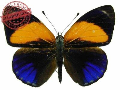 Dotted Glory Butterfly Asterope markii davisii Male Folded Real Insect Taxidermy
