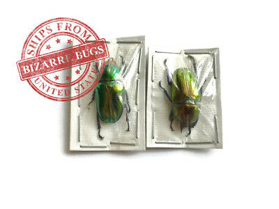Sawtooth Stag Beetle Lamprima adolphinae Female Real Insect Taxidermy Pack of 2