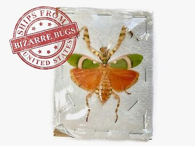 Banded Flower Mantis Theopropus elegans Female Spread Real Insect Taxidermy