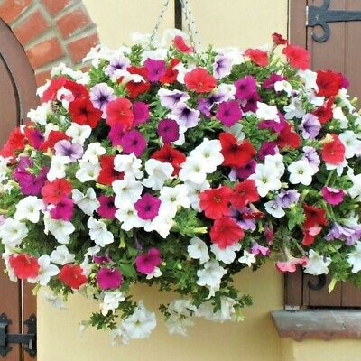 200+PETUNIA HYBRIDA MIX Flower Seeds Hanging Baskets Beds Window Box Container