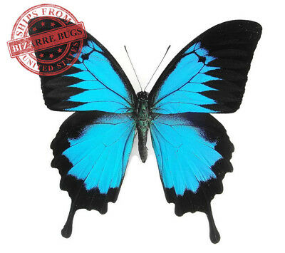 Blue Emperor Swallowtail Butterfly Papilio ulysses ulysses Real Insect Male Fold