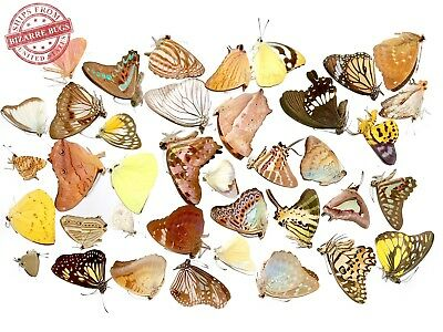 50 Butterfly and Moth Mixed Wholesale Lot Real Taxidermy Insect Folded