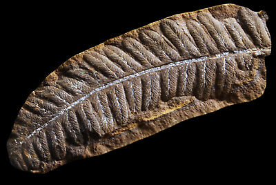 A Beautiful Yellow Pecopteris Fern Fossil, Mazon Creek Plant Fossil