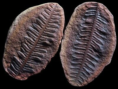 A Gorgeous Red Pecopteris Fern Fossil, Mazon Creek Plant Fossil