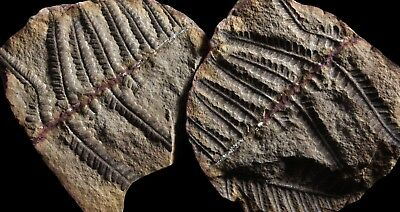 A Gorgeous Pecopteris Fern Fossil, Mazon Creek Plant Fossil