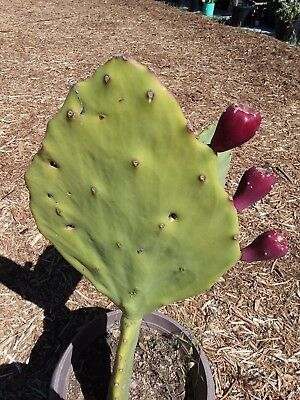 5 Seeds Opuntia gomei Spineless Prickly Pear Cactus Pad Old Mexico Nopal