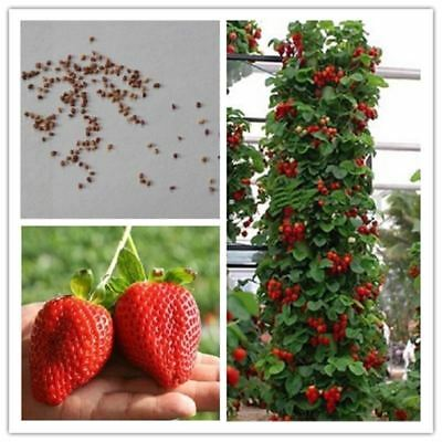 100 Pcs Strawberry Indoor Plants Sementes Giant Climbing Seeds Fruit For Home &