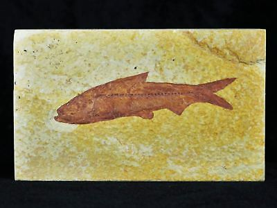 3.5 In Knightia Eocaena Fossil Fish Green River Formation Wy Eocene Age Free Coa