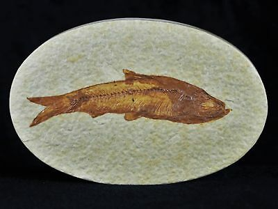 3.2 In Knightia Eocaena Fossil Fish Green River Wyoming Eocene Age Oval With Coa