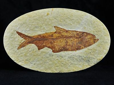 3.8 In Knightia Eocaena Fossil Fish Green River Wyoming Eocene Age Oval With Coa