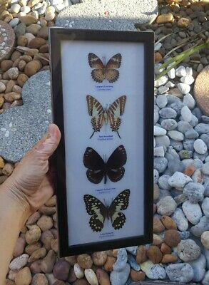 Real 4 Mounted Butterflies Rare Framed Real Butterflies Insect Display Decor #3