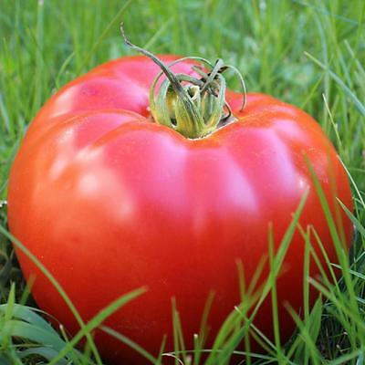 Belgium Monster Tomato Seeds Unusual Rare Fruit Giant Plant Heirloom 100 Seed