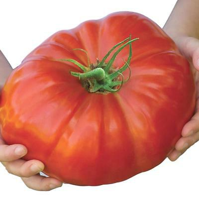 100 Seeds Belgium Monster Tomato Seeds Unusual Rare Fruit Giant Plant Heirloom