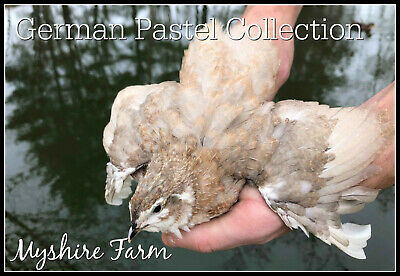 25+ German Pastel Collection Coturnix Hatching Eggs By Myshire! Many Varieties!