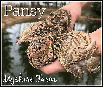 25+ RARE Pansy Coturnix Hatching Eggs By Myshire! A MUST HAVE FOR VIBRANT Colors