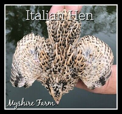 110 Includes Italian// Golden Manchurian GOLD Coturnix Hatching Eggs By Myshire