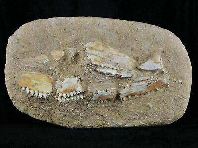Rare Eutrichiurides Fossil Fish Jaw With Teeth Matrix Upper Cretaceous Morocco