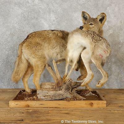 #19278 E+   Coyote With Rabbit Life-Size Taxidermy Mount For Sale