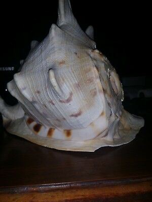 Large Cassis Cornuta Queen Horned Tiger Helmet Shell 9 1/2 Inch By 10 1/2 Inch