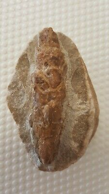 Fossil Pine cone Pinus sp from Germany