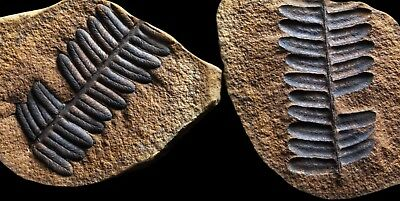 A VERY BOLD Pecopteris Fern Fossil, Mazon Creek Plant Fossil