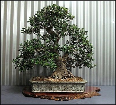 BANKSIA INTEGRIFOLIA.- BONSAI TREE STARTER -Excellent and Fast strong Grower