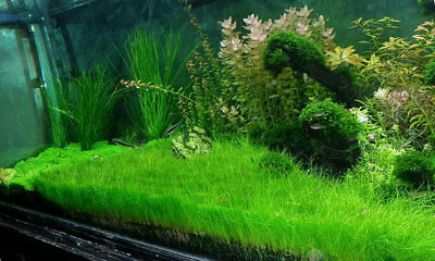 3x Dwarf Hairgrass Bunch Eleocharis Parvula Fresh Aquatic Live Aquarium Plants