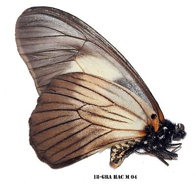 Insect Butterfly Moth Papilionidae Graphium hachei-Rare! GRA HAC M 04