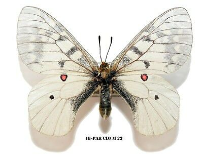 Insect Butterfly Moth Papilionidae Parnassius clodius-MALE PAR CLO M 23