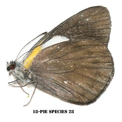 Insect Butterfly Moth Nymphalidae Pieridae species -The Congo! PIE SPECIES 28