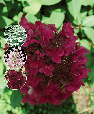 "Hydrangea paniculata Wim's Red. 3 Plants in 3.5"" Pots"
